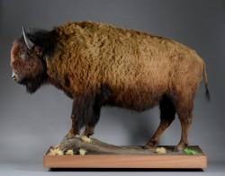 Amerikanischer Bisonbulle