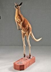 Tierpräparat Känguru